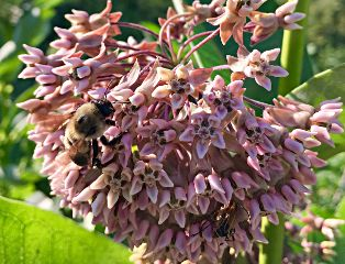 bee milkweed nature naturephotography flower