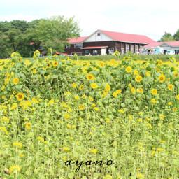 sunflowers japan
